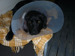 Poor puppy with a sore ear